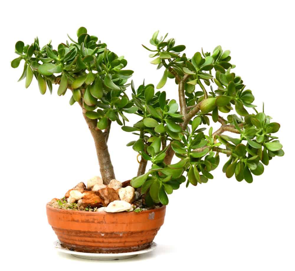 Chinese Jade Plant