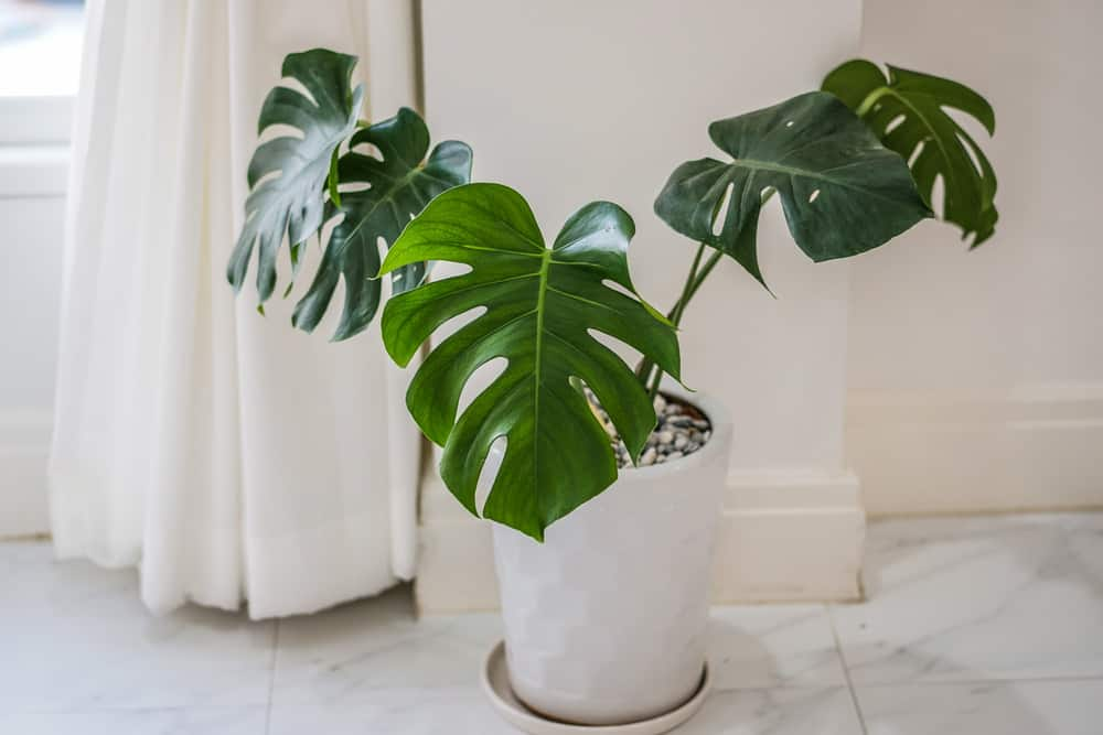Philodendron, one of 6 excellent plants for a yoga studio.