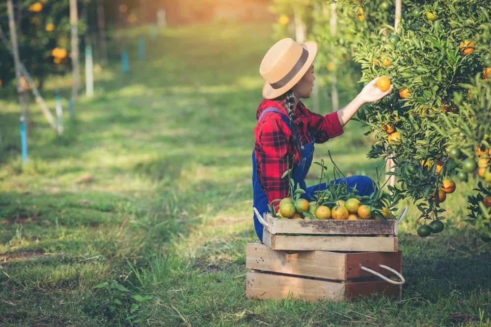 Farmer Picking Fruits Alone